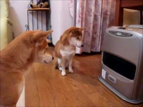 毛皮を着ていても冬は寒い・・・。ストーブ点火を待つ柴犬