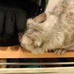 猫の変顔!猫を飼った人しか知らない、フレーメン反応って?
