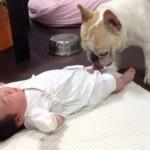 赤ちゃんを泣き止ます賢いフレンチブルドッグのミルコ