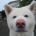 暑いから早く扇風機を回してよと催促する秋田犬