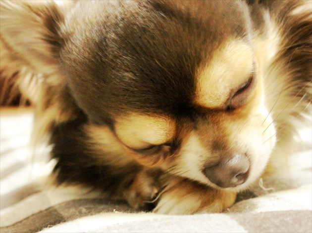 部屋犬の画像②_R