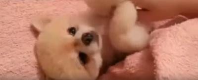 お腹を撫でて欲しい犬が可愛すぎ!ぬいぐるみの様です