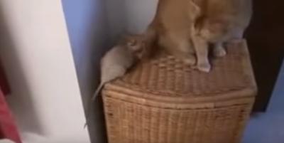 トムとジェリーもびっくり!まさかの仲良し猫&ネズミコンビ