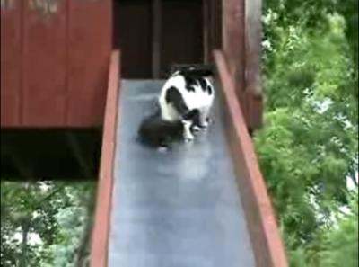 愛らしい子猫のお尻に悶絶!滑り落ちる子猫を助ける母猫