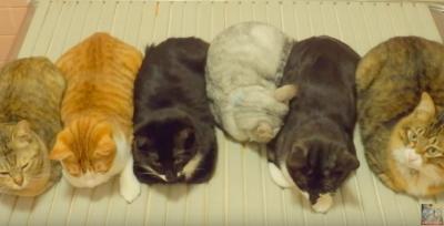 暖かいところに集まる習性?お風呂のフタに猫がびっしり!