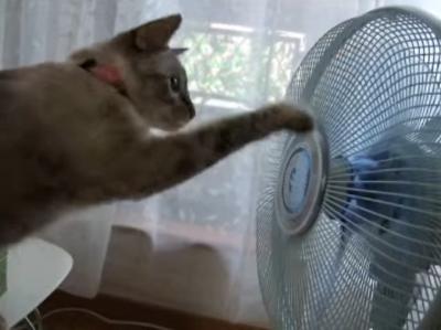 クルクル頭までクルクル。扇風機の前に張り付く猫