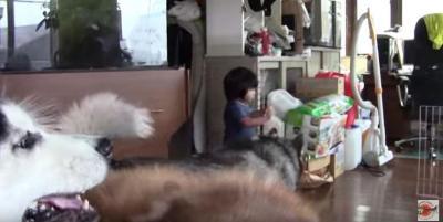 心優しいハスキー犬アリスが子供を守る姿に癒やされます