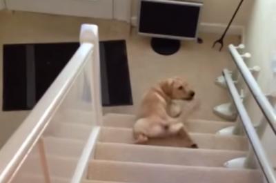 お腹痛くないの?階段から滑り降りるラブラドール