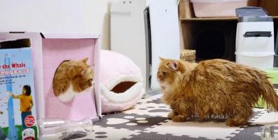 お風呂にゆっくり落ちる猫のマンチカン