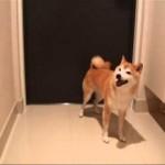 カミナリ!家から逃げたい柴犬