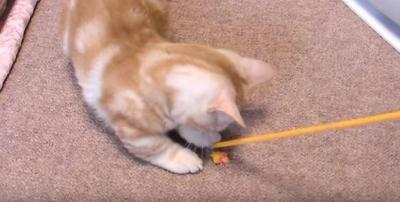 萌え!猫のマンチカンの連打パンチが可愛すぎ