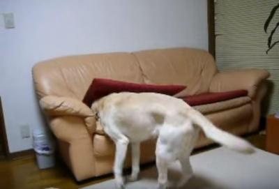 寝る準備が手早いラブラドール犬