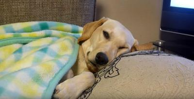 寝落ち寸前のラブラドール犬の姿が人間っぽい
