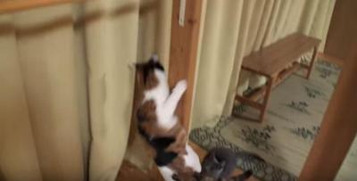 何でそこから?落ちてきた猫にビックリする黒猫
