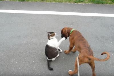ボクサー犬、猫パンチにいじける