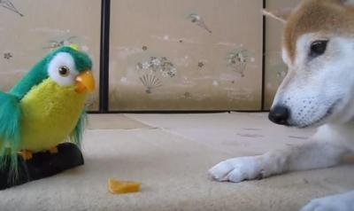 おもちゃのインコの言うことを聞いてしまう柴犬