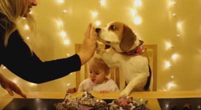 大人しさに脱帽 お菓子作りを手伝うビーグル犬