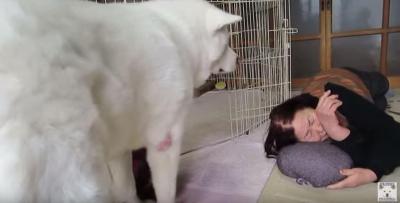 枕にされて動けない秋田犬、クシャミで脱出成功