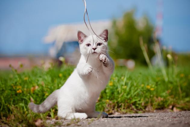 人気沸騰中の短足猫「マンチカン」の魅力とは?