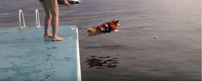 コーギー犬の必死な海への飛び込み