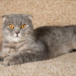 Scottish Fold_R