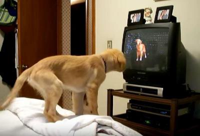 テレビの中の相棒!ゴールデンレトリバー