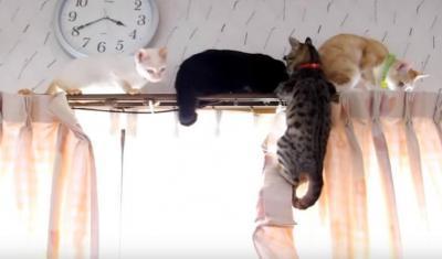 大渋滞!カーテンレールの上の猫たち