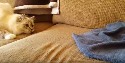 痛い!ハリネズミに座った猫が飛び跳ねる