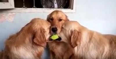 ボール取り合いの仲裁に入った犬の姿が可愛い