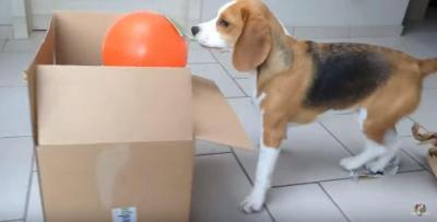 上手に段ボールの梱包用テープをはがす犬