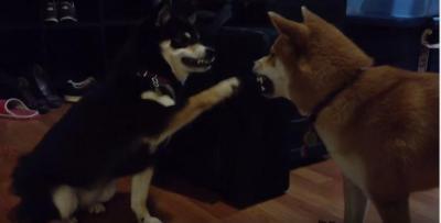 遊んで欲しい柴犬。犬パンチで構ってアプローチ