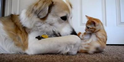 犬のあくびの隙に舌にタッチする仔猫