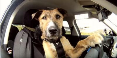驚き!犬がドライバー、見事なハンドルさばき