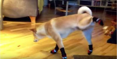 靴を履く犬、上手く歩けません