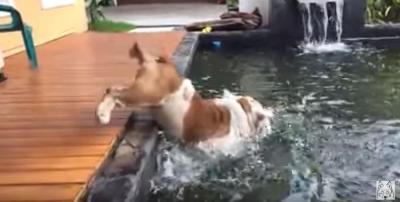 魚を追いかけ池に落ちるアメリカンブルドッグ