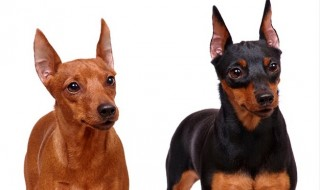 Miniature Pinscher_R