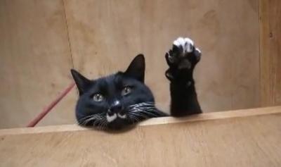まるで優等生!?手をあげて返事をする猫