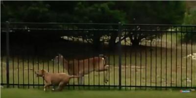 鹿と駆けっこするピットブル