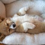 あなたのワンちゃんはどのタイプ?寝相から見える愛犬の性格