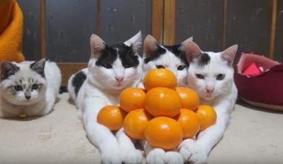 腕の上にみかんを乗せられていく猫たち
