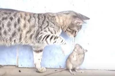 強すぎるネズミvs優しすぎる猫