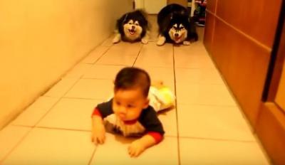 ハイハイする赤ちゃんのマネをするハスキー犬