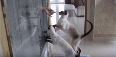 シャワー中の飼い主を大合唱で呼ぶシャム猫