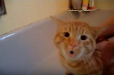 ノー!ノー!NO!!お風呂がイヤだと叫ぶ猫