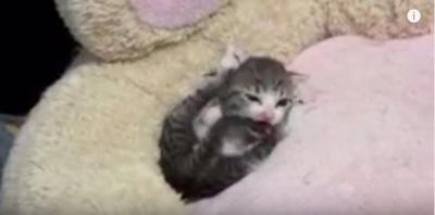 小さな子猫の毛繕いに激萌え