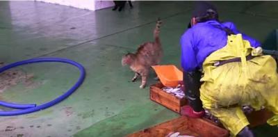 漁師さんが捕った魚を狙う猫たち