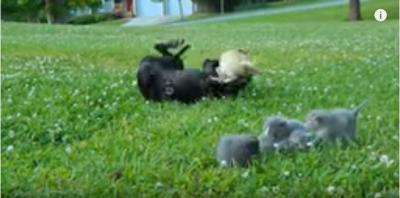 子猫を守るチワワ、大きな犬に立ち向かう!