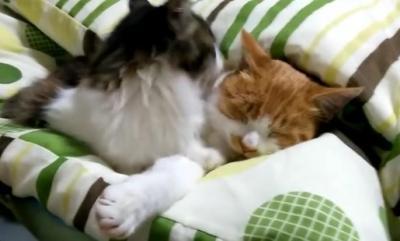 眠っている猫を起こそうとする子猫