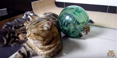 激萌え!球体でコロコロと転がる子猫