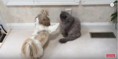 シーズー犬vsブルーペルシャ猫のパンチ炸裂!